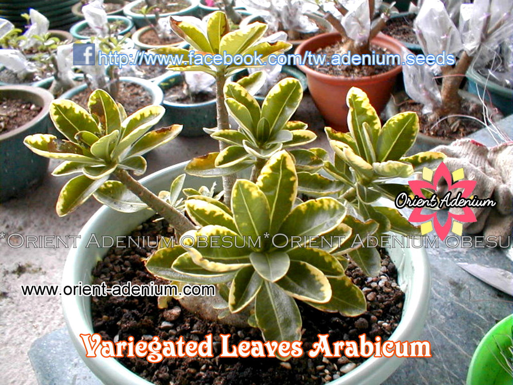 Adenium Variegated Leaves Arabicum seeds