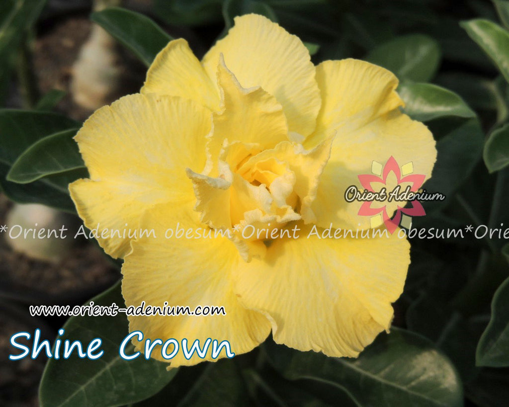 Adenium obesum Shine Crown seeds