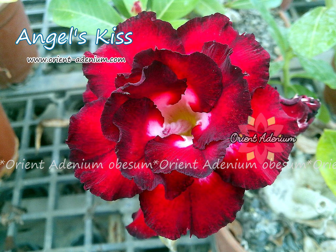 Adenium obesum Angel's Kiss seeds