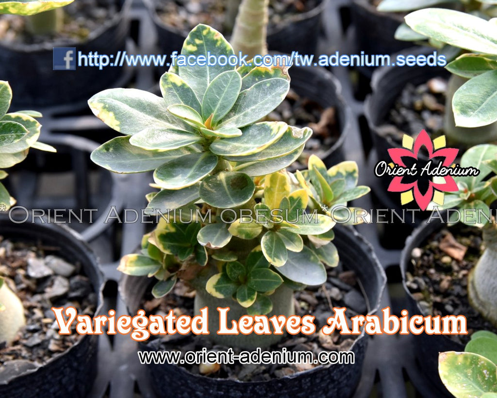 Variegated Leaves Arabicum Seedling