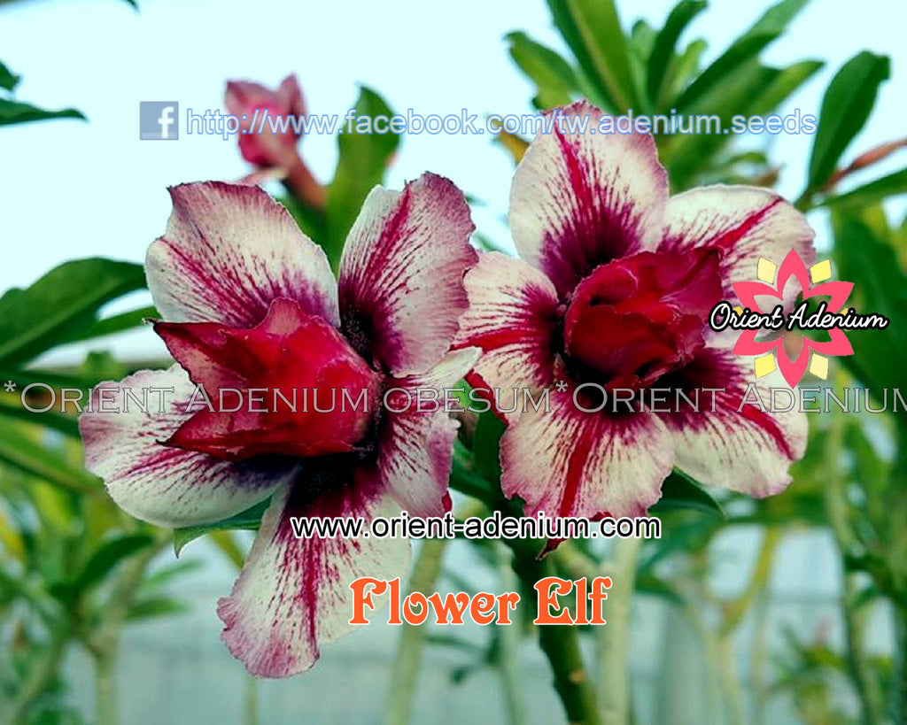 Adenium obesum Flower Elf Grafted plant