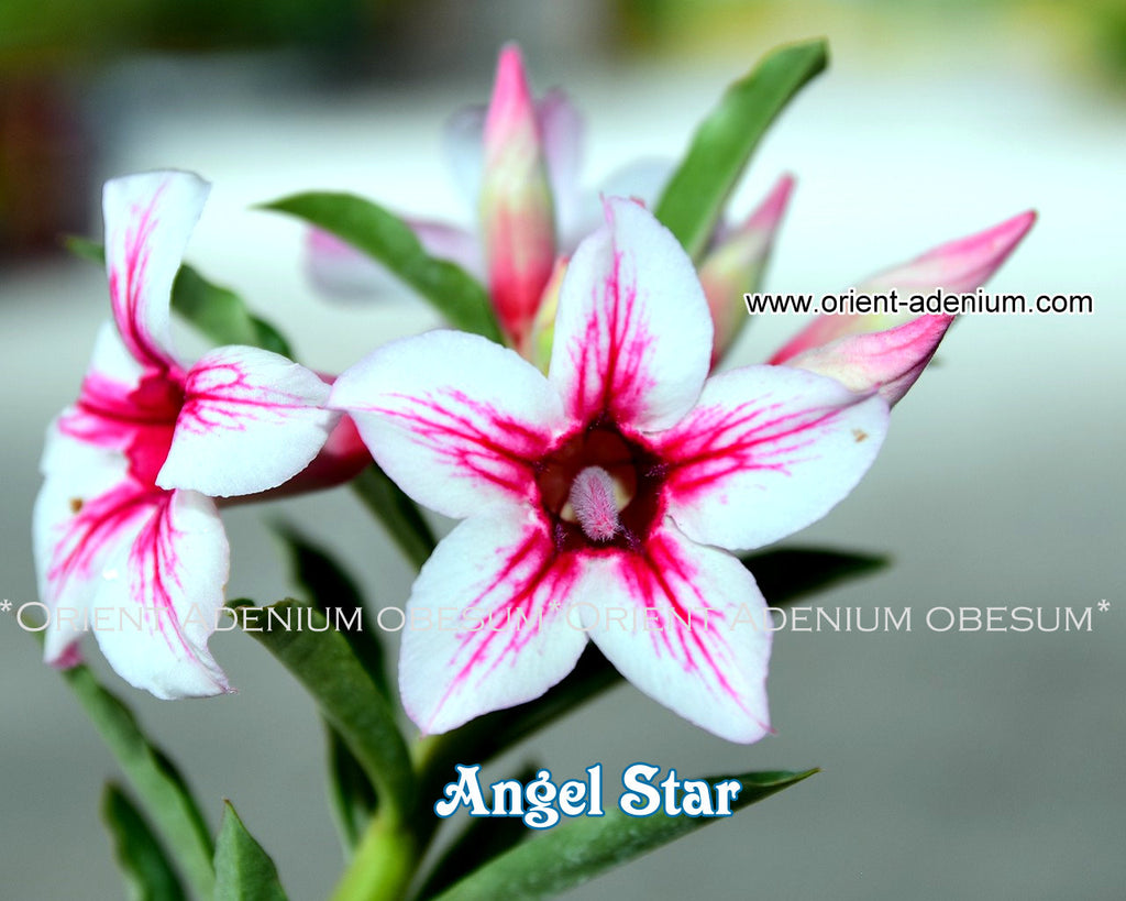 Adenium obesum Angel Star Grafted plant