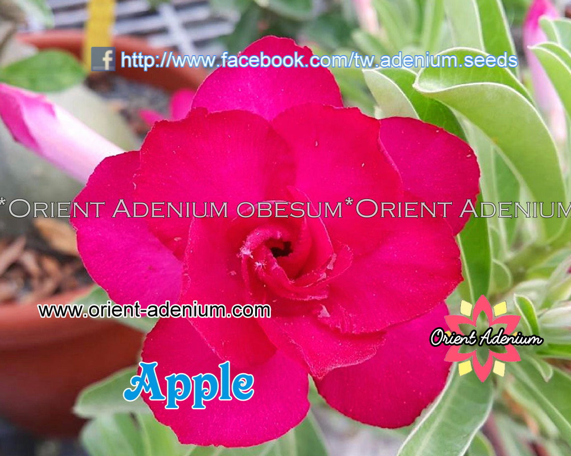 Adenium Swazicum Apple Grafted plant