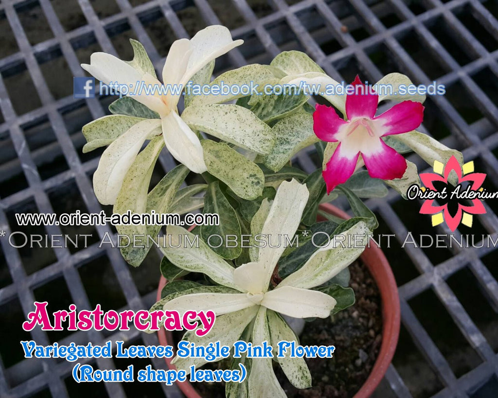 Adenium Aristocracy Grafted Plant