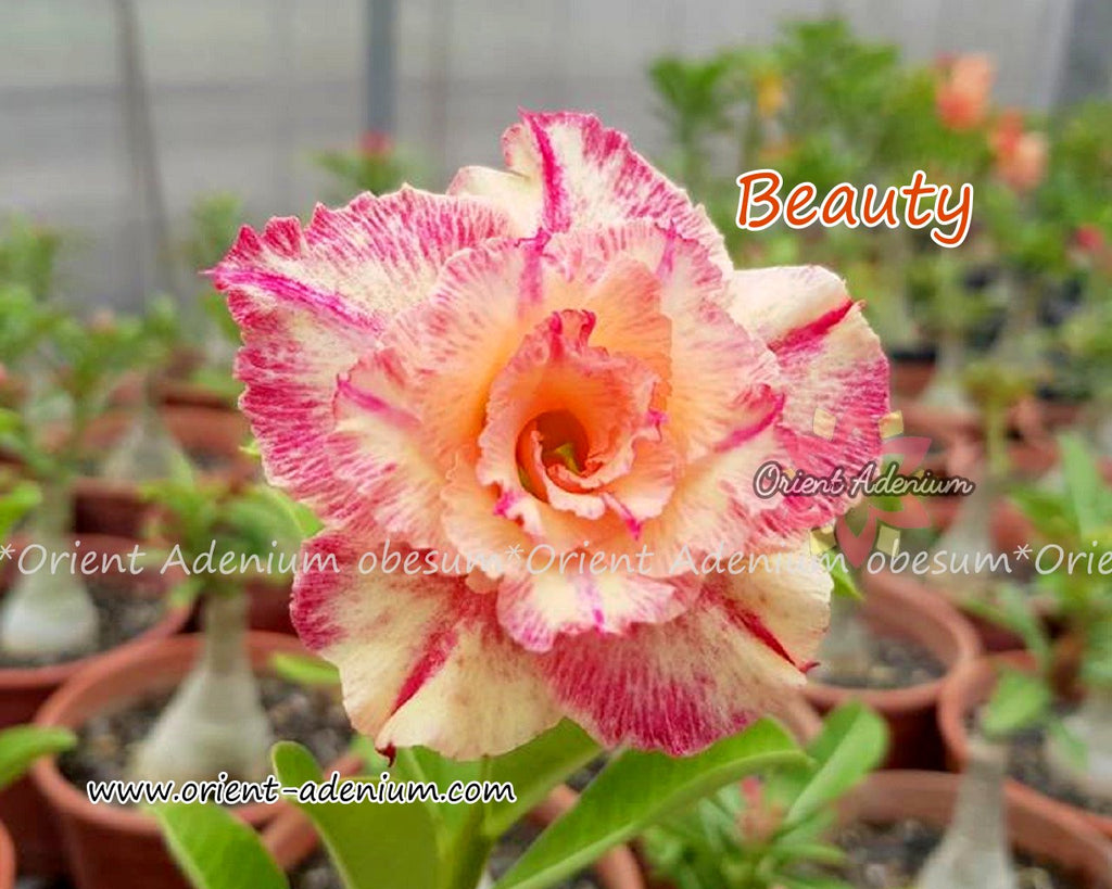 Adenium obesum Beauty Grafted plant
