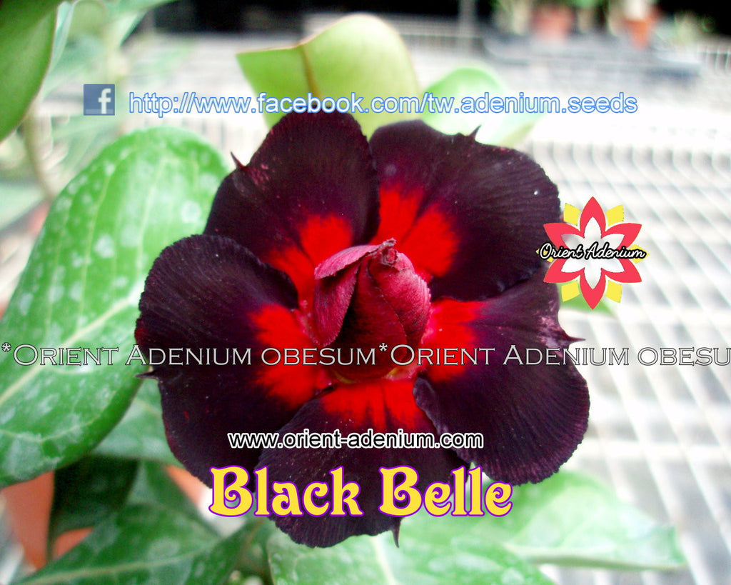 Adenium obesum Black Belle Grafted plant