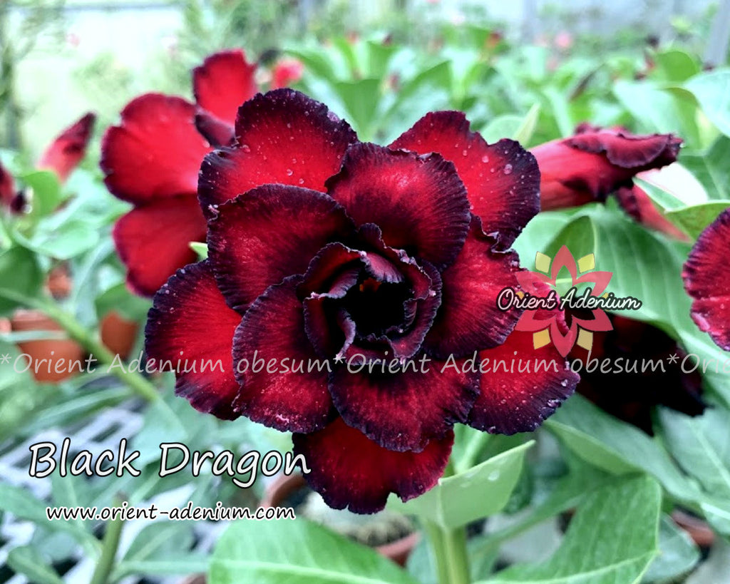 Adenium obesum Black Dragon Grafted plant