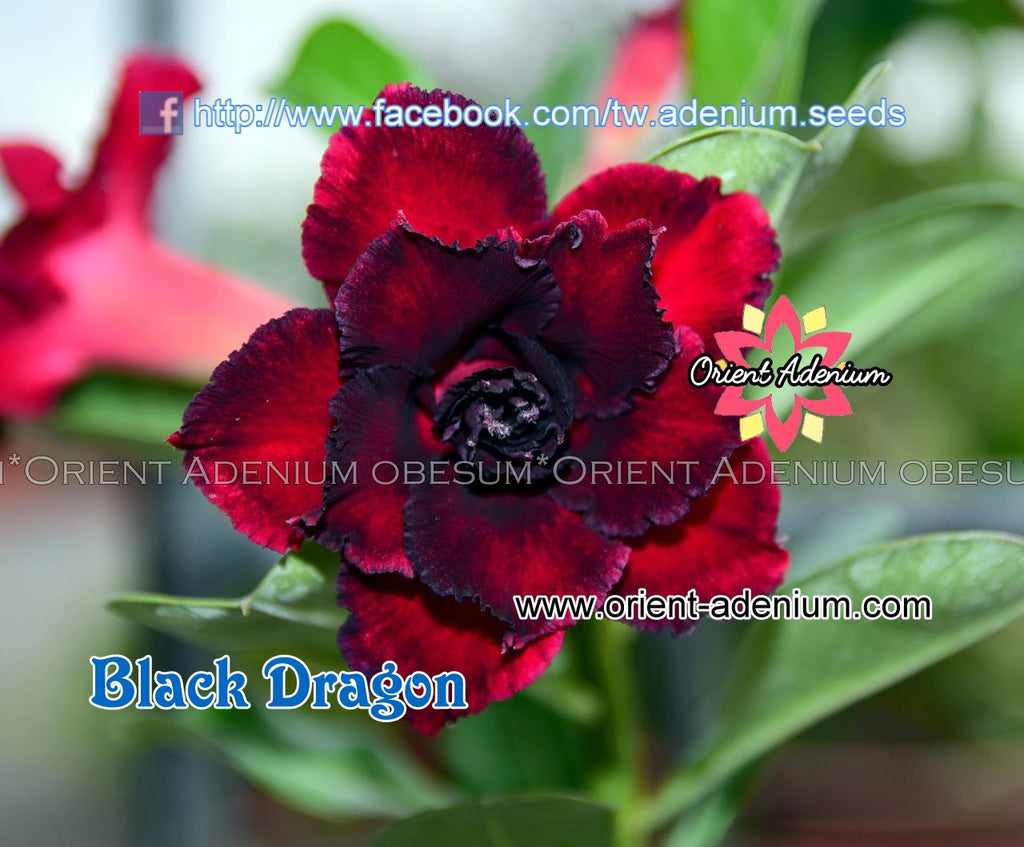 Adenium obesum Black Dragon 15 seeds