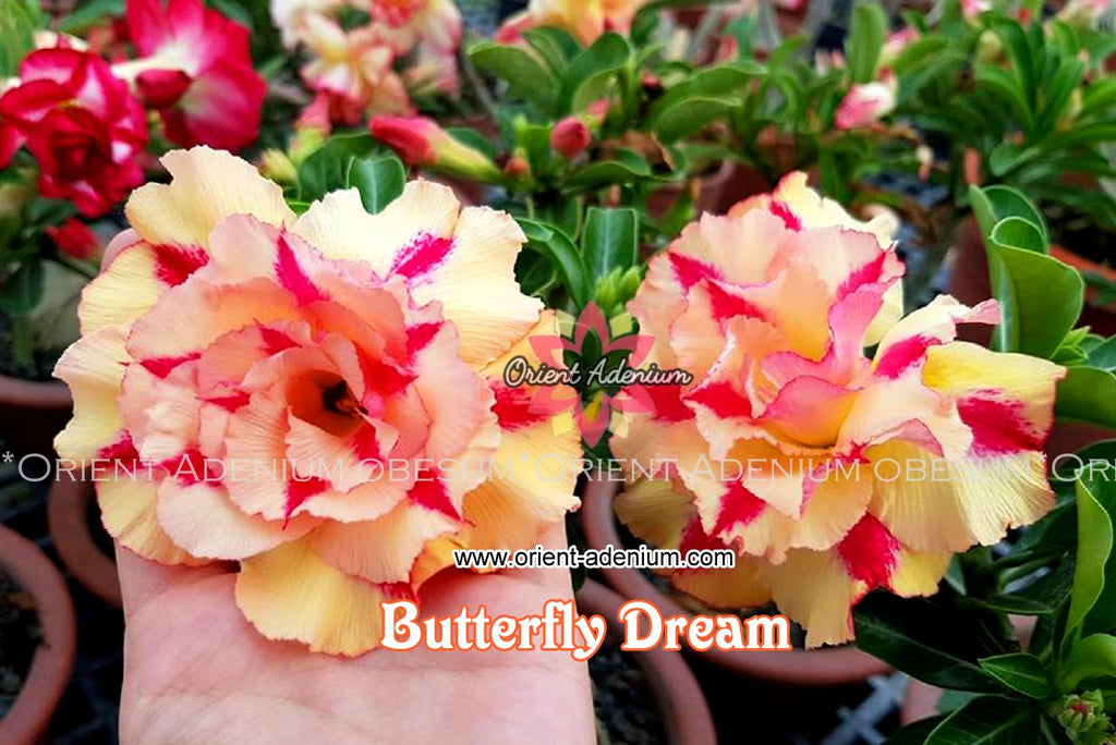 Adenium obesum Butterfly Dream Grafted plant