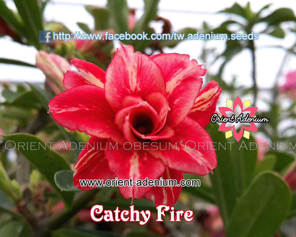 Adenium obesum Catchy Fire Grafted plant