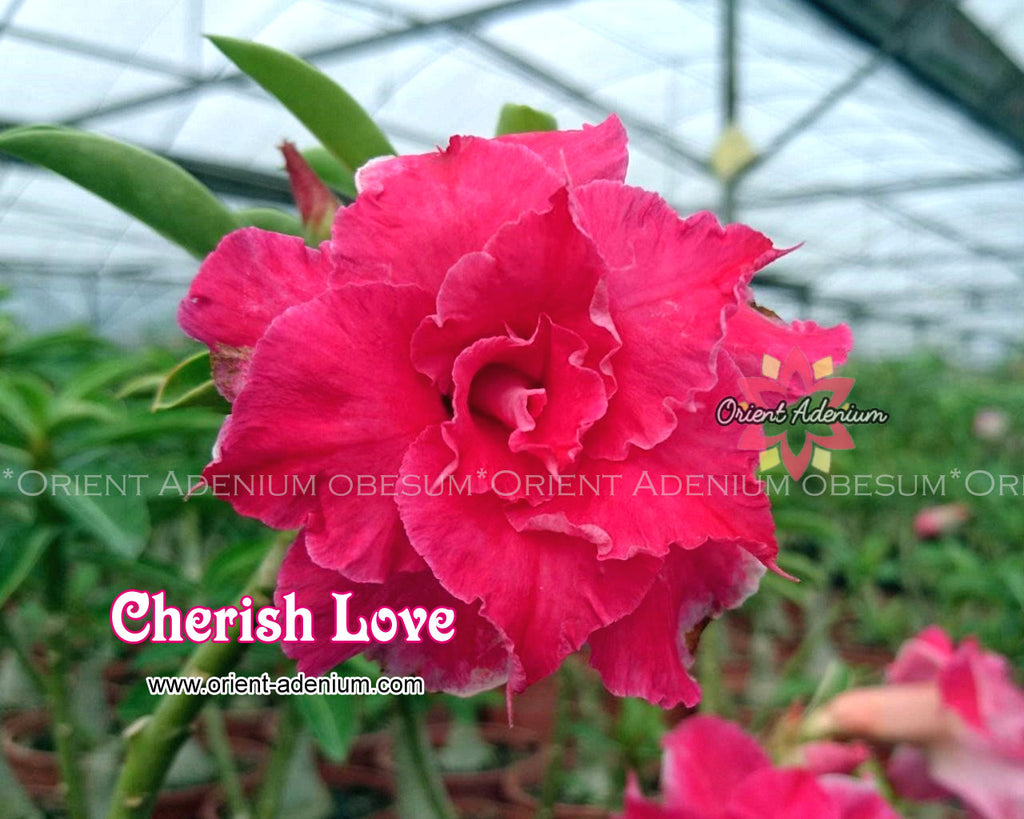 Adenium obesum Cherish Love Grafted plant