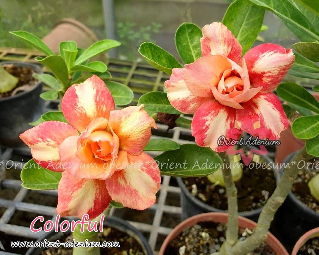 Adenium obesum Colorful Grafted plant