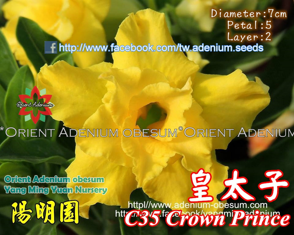 Adenium obesum Crown Prince Grafted plant