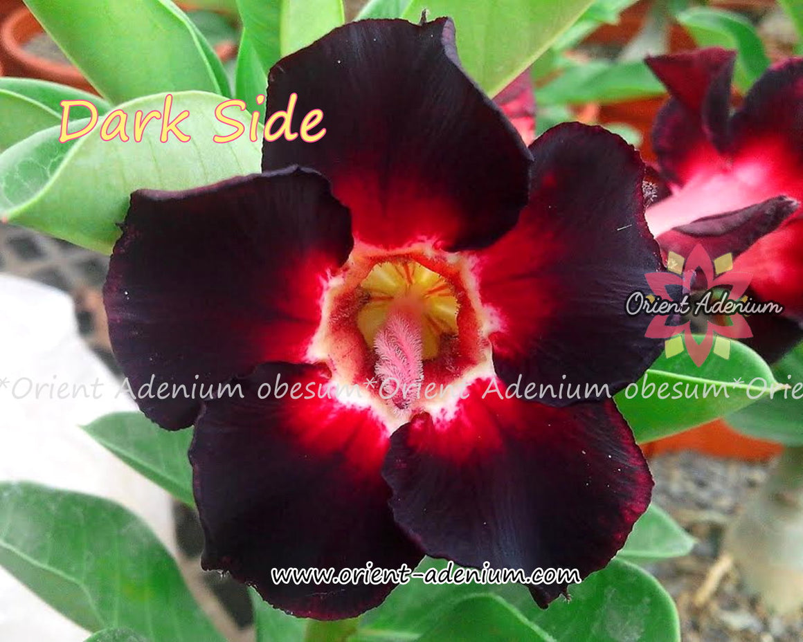 Adenium obesum Dark Side seeds