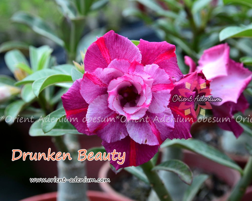 Adenium obesum Drunken Beauty Grafted plant