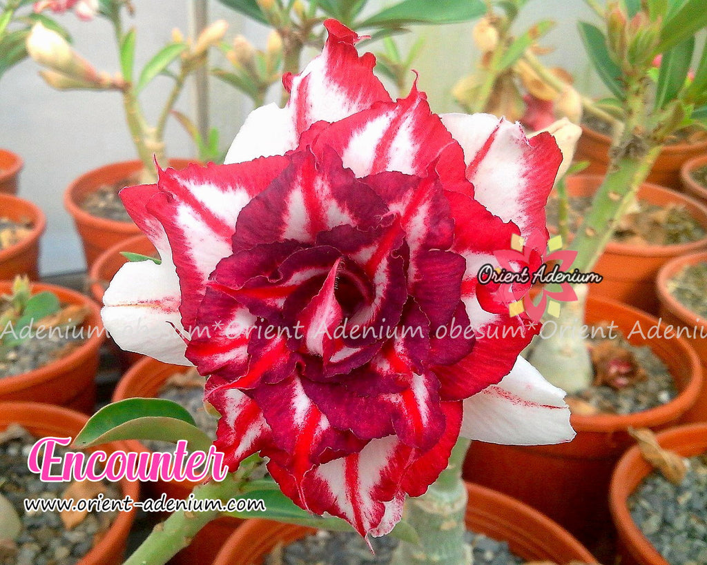 Adenium obesum Encounter seeds