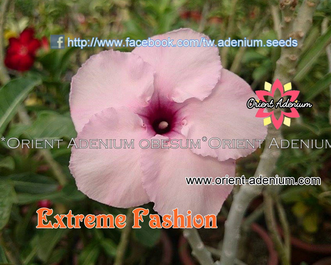 Adenium Swazicum Extreme Fashion Grafted plant