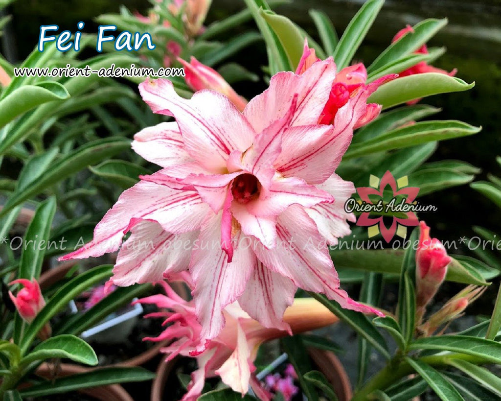 Adenium obesum Fei Fan Grafted plant