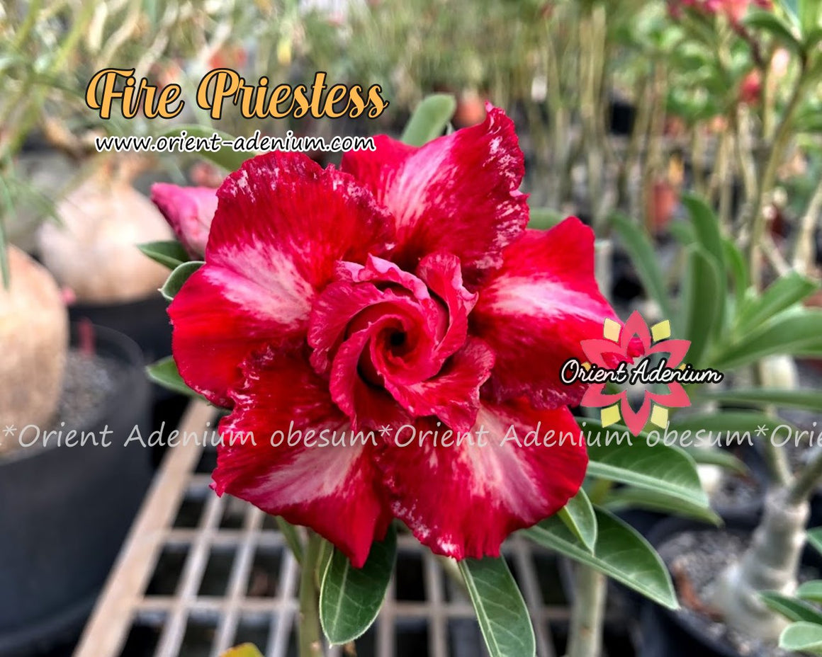 Adenium obesum Fire Prietess Grafted plant