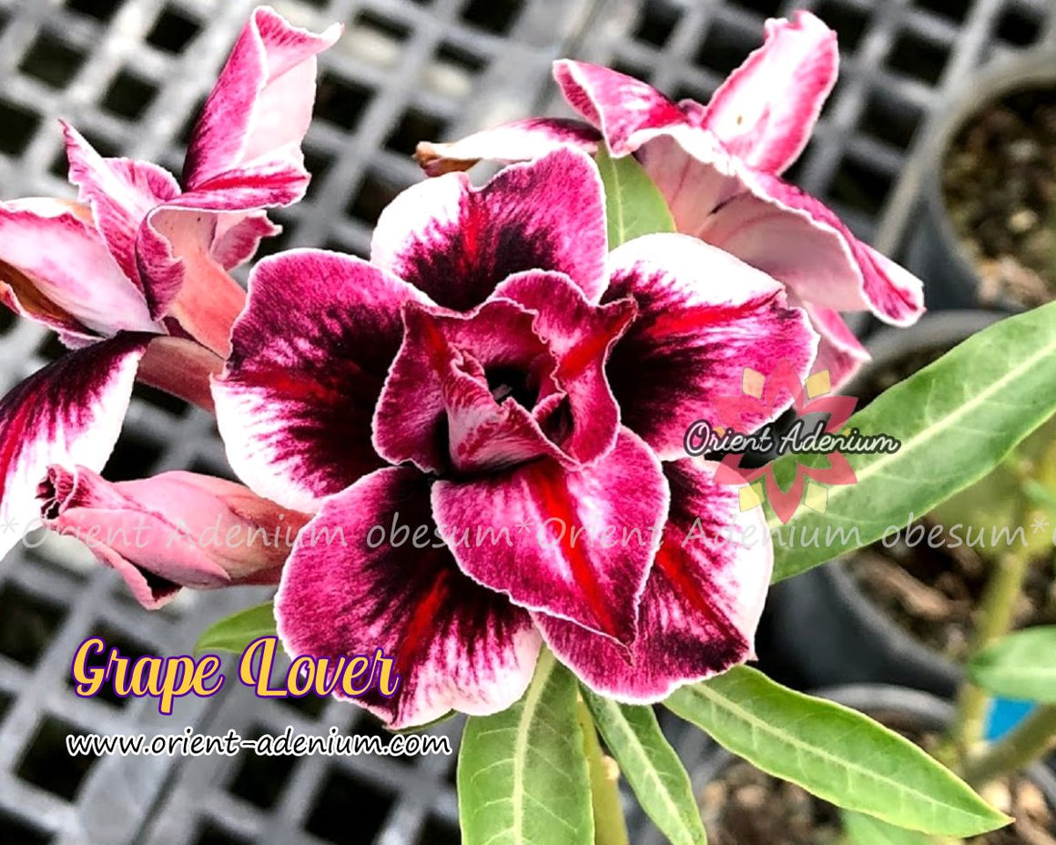 Adenium obesum Grape Lover Grafted plant