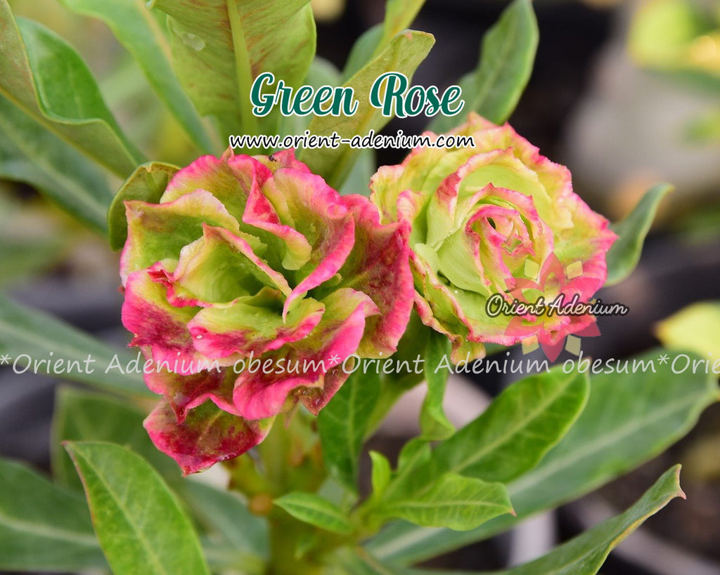 Adenium obesum Green Rose Grafted plant