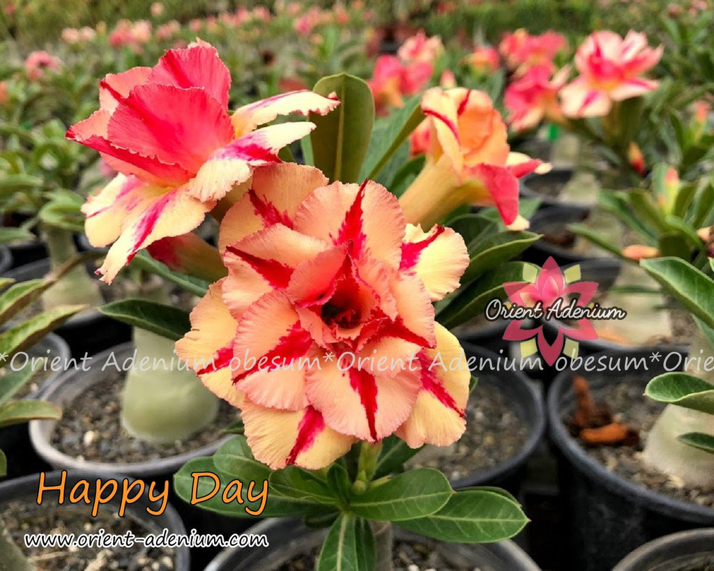 Adenium obesum Happy Day seeds