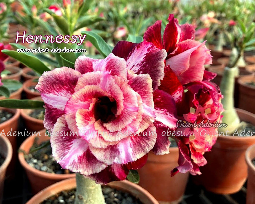 Adenium obesum Hennessy Grafted plant
