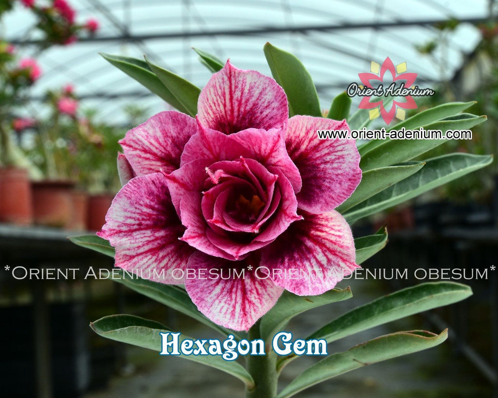 Adenium obesum Hexagon Gem Grafted plant