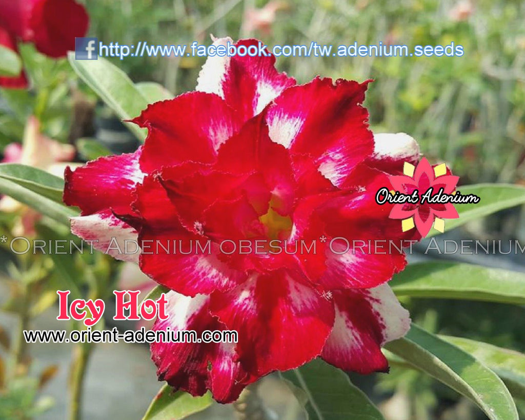 Adenium obesum Icy Hot Grafted plant