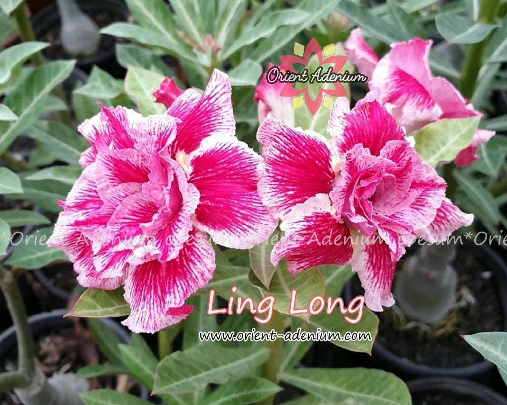 Adenium obesum Ling Long Grafted plant