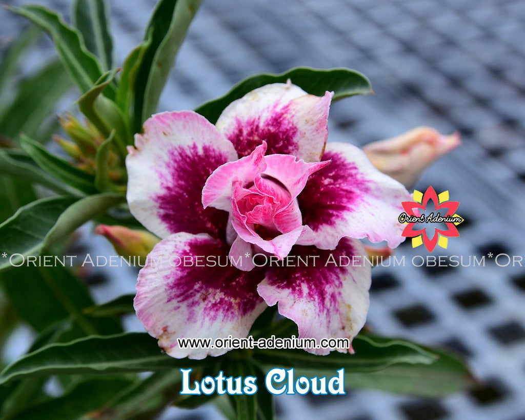 Adenium obesum Lotus Cloud Grafted plant