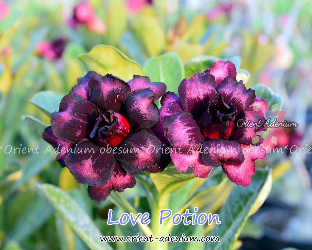 Adenium obesum Love Potion Grafted plant