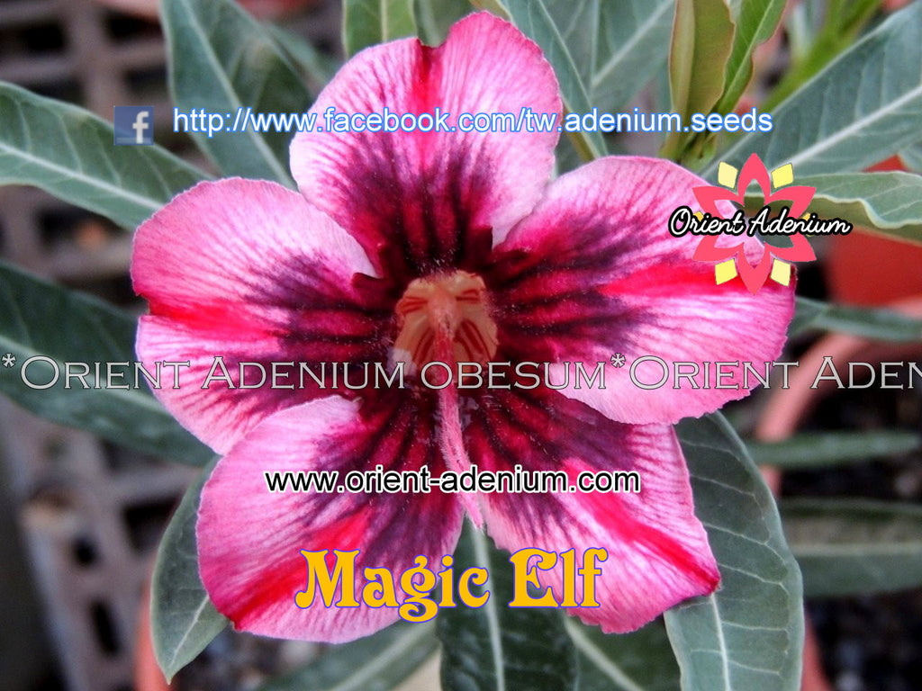 Adenium obesum Magic Elf Grafted plant