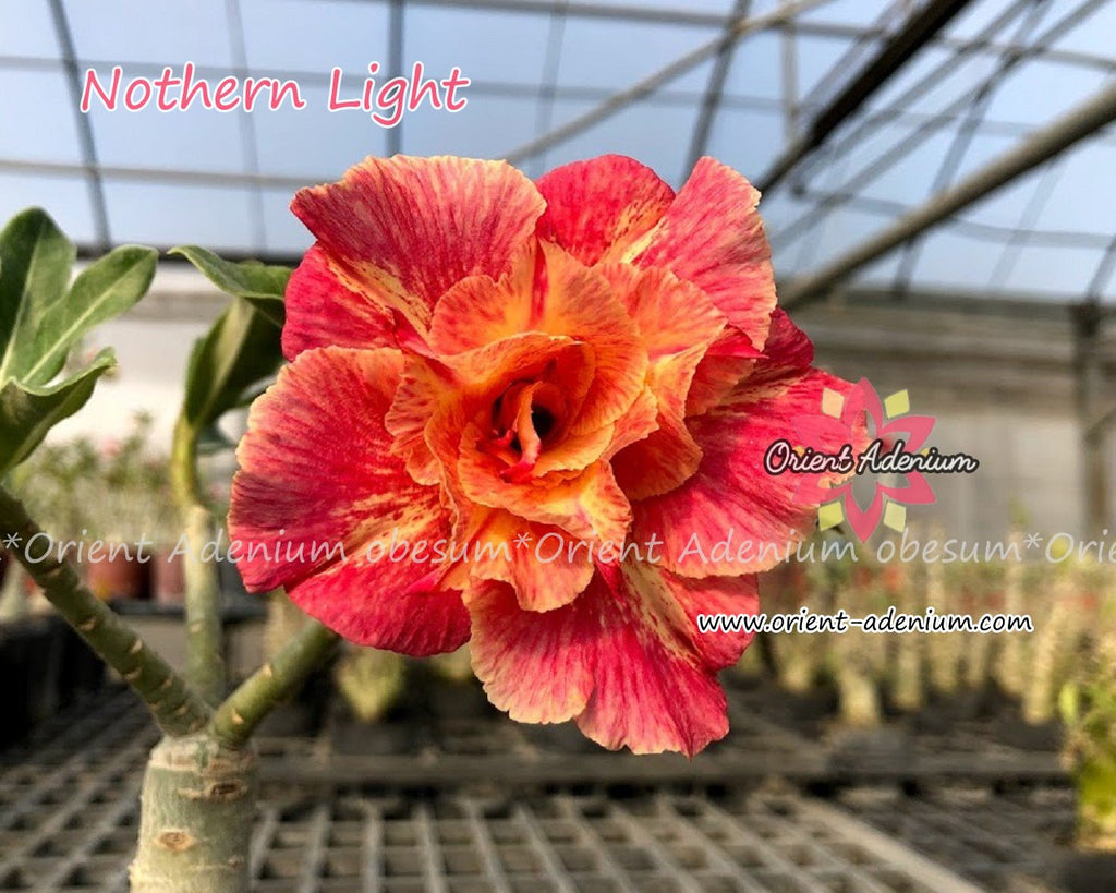 Adenium obesum Northern Light Grafted plant