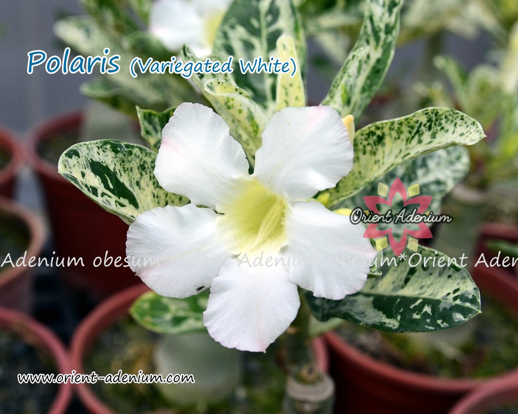 Adenium obesum Polaris (Variegated leaves White) Grafted plant