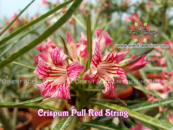Adenium Crispum Pull Red String Grafted plant