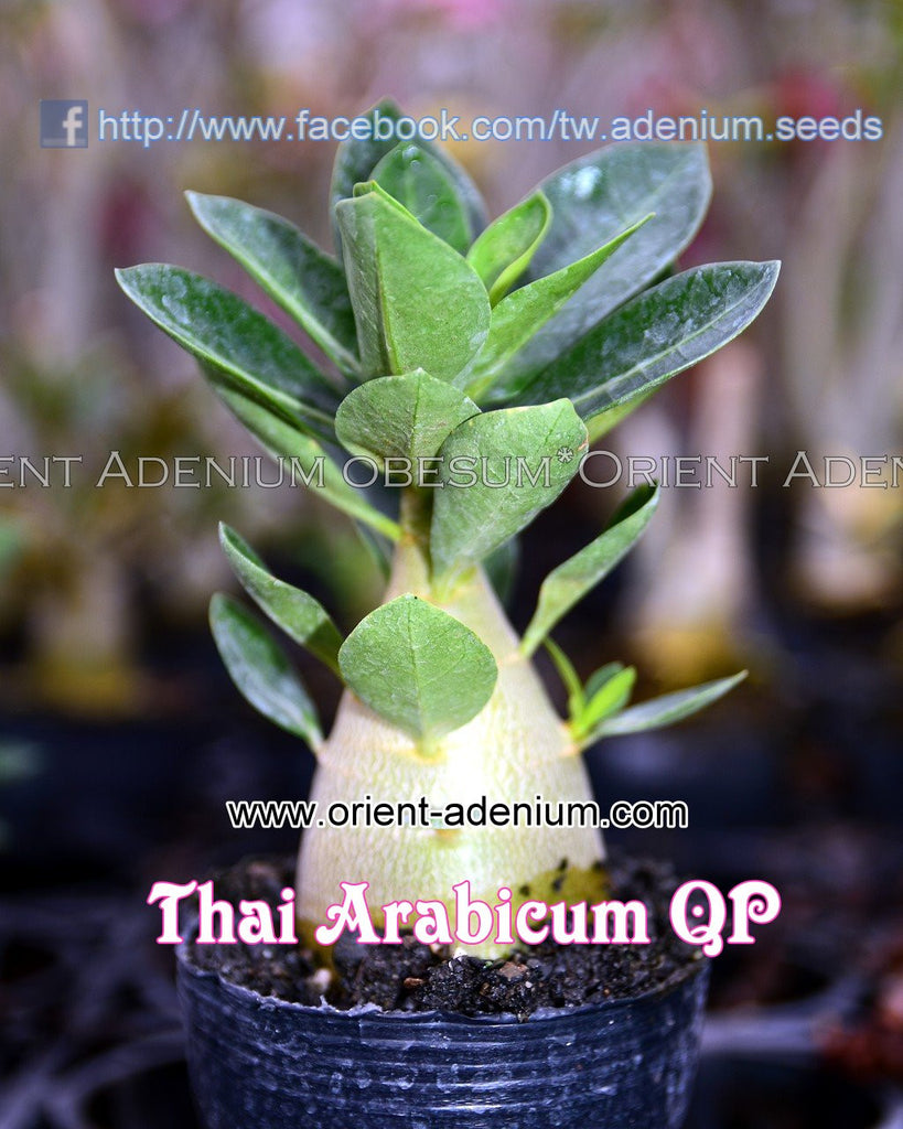 Thai Arabicum QP Seedling (3 inches pot)