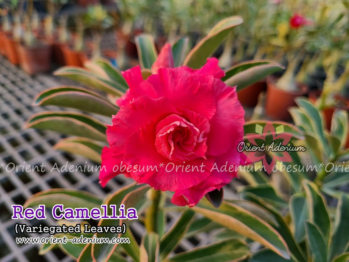Adenium obesum Red Camellia Variegated Grafted plant