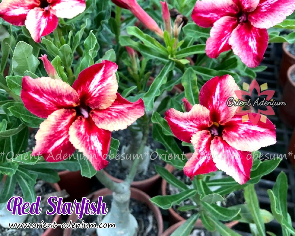 Adenium obesum Red Star Fish Grafted plant