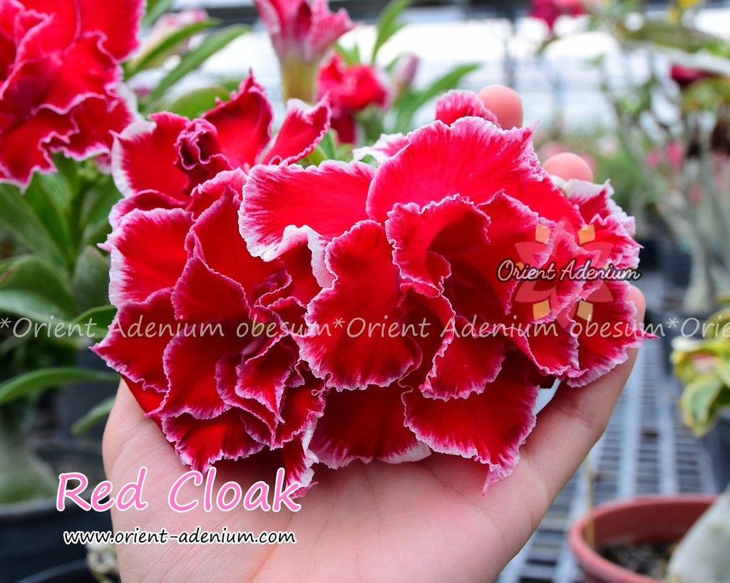 Adenium obesum Red Cloak Grafted plant