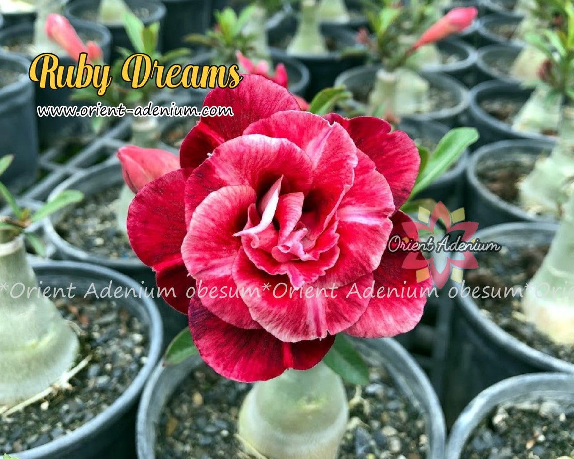 Adenium obesum Ruby Dreams Grafted plant