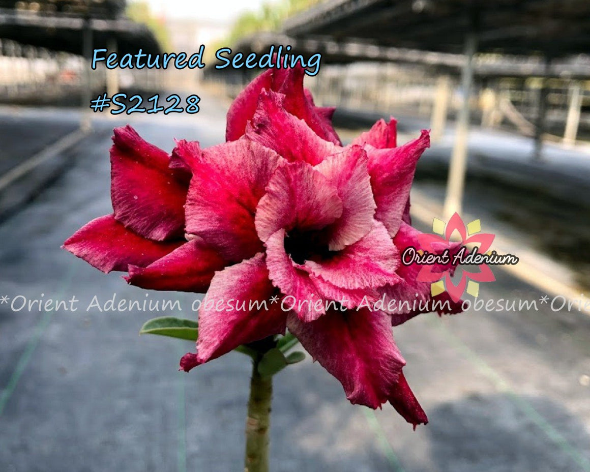 Adenium Featured Seedling #S2128