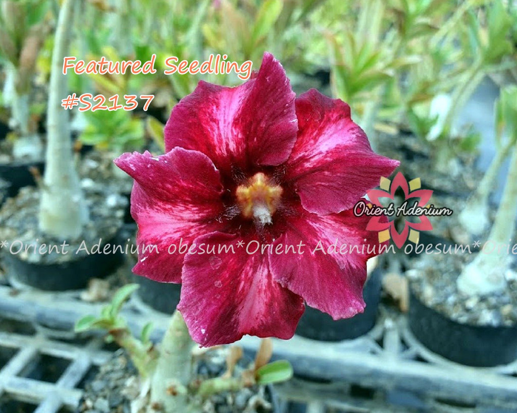 Adenium Featured Seedling #S2137