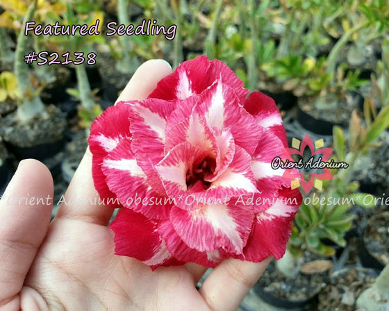 Adenium Featured Seedling #S2138