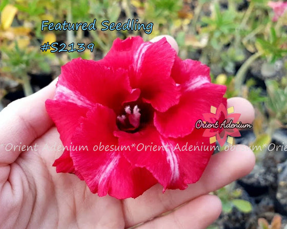 Adenium Featured Seedling #S2139