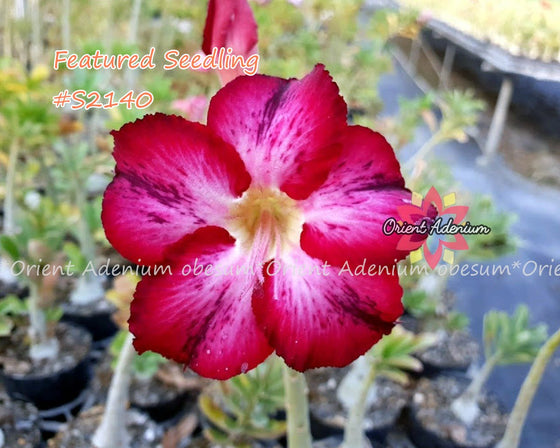 Adenium Featured Seedling #S2140