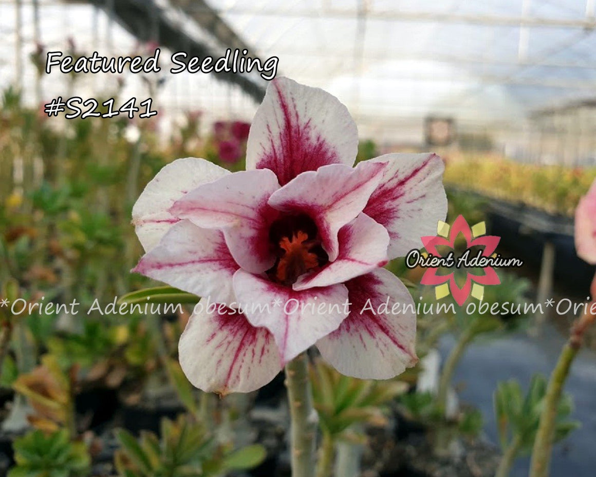 Adenium Featured Seedling #S2141