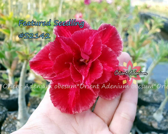 Adenium Featured Seedling #S2142