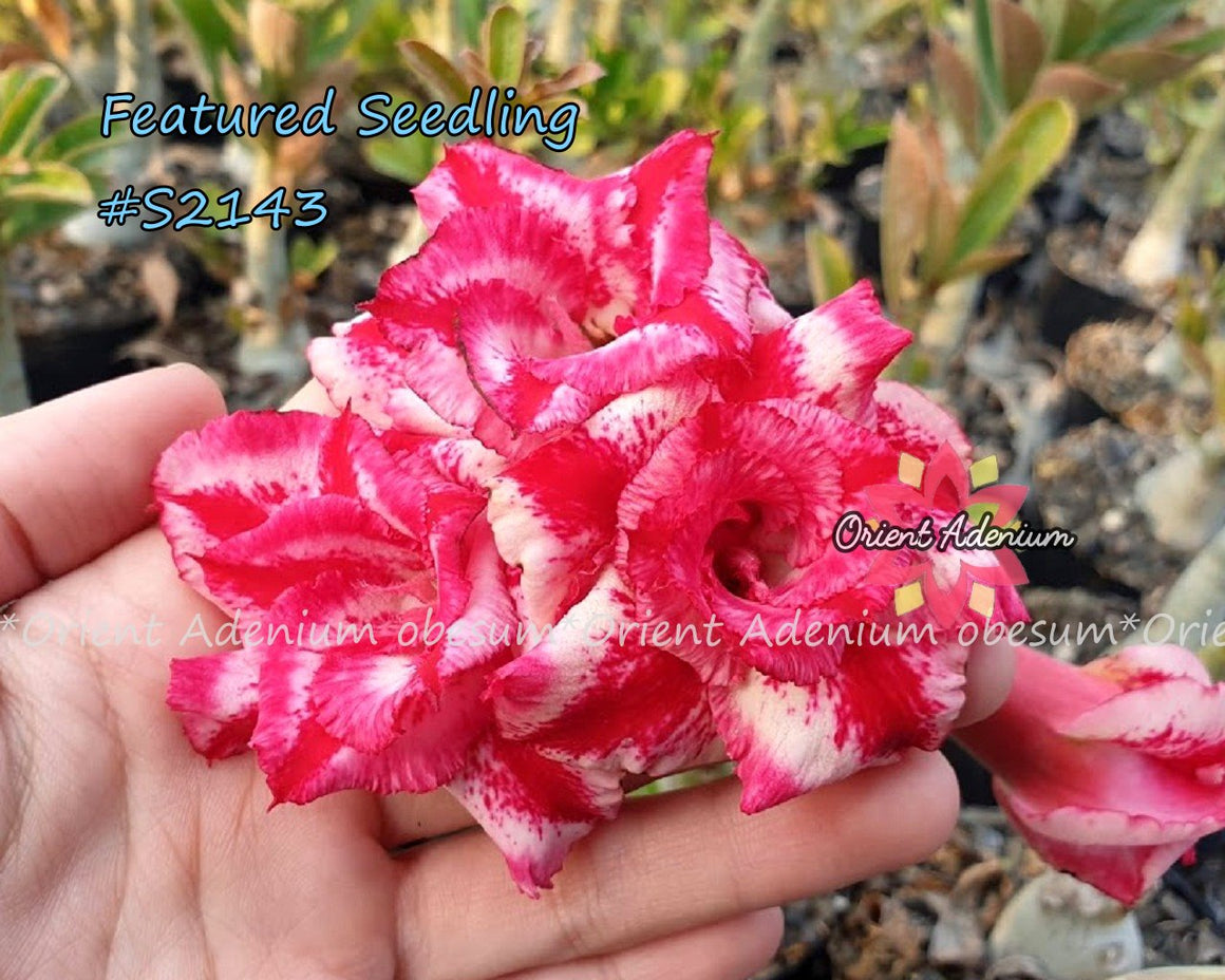 Adenium Featured Seedling #S2143