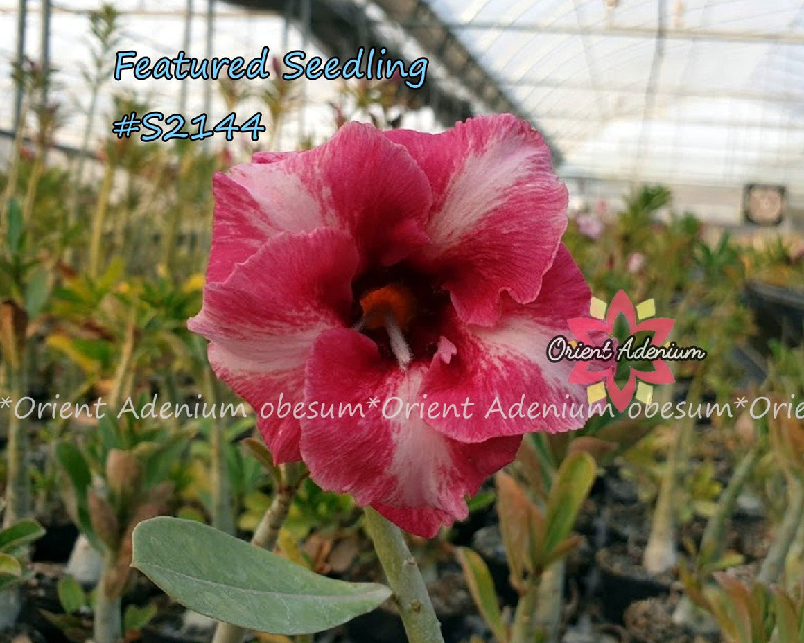 Adenium Featured Seedling #S2144